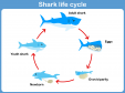 Shark Life Cycle