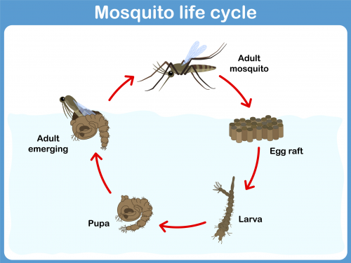 Mosquito Life Cycle - KidsPressMagazine.com - photo#15