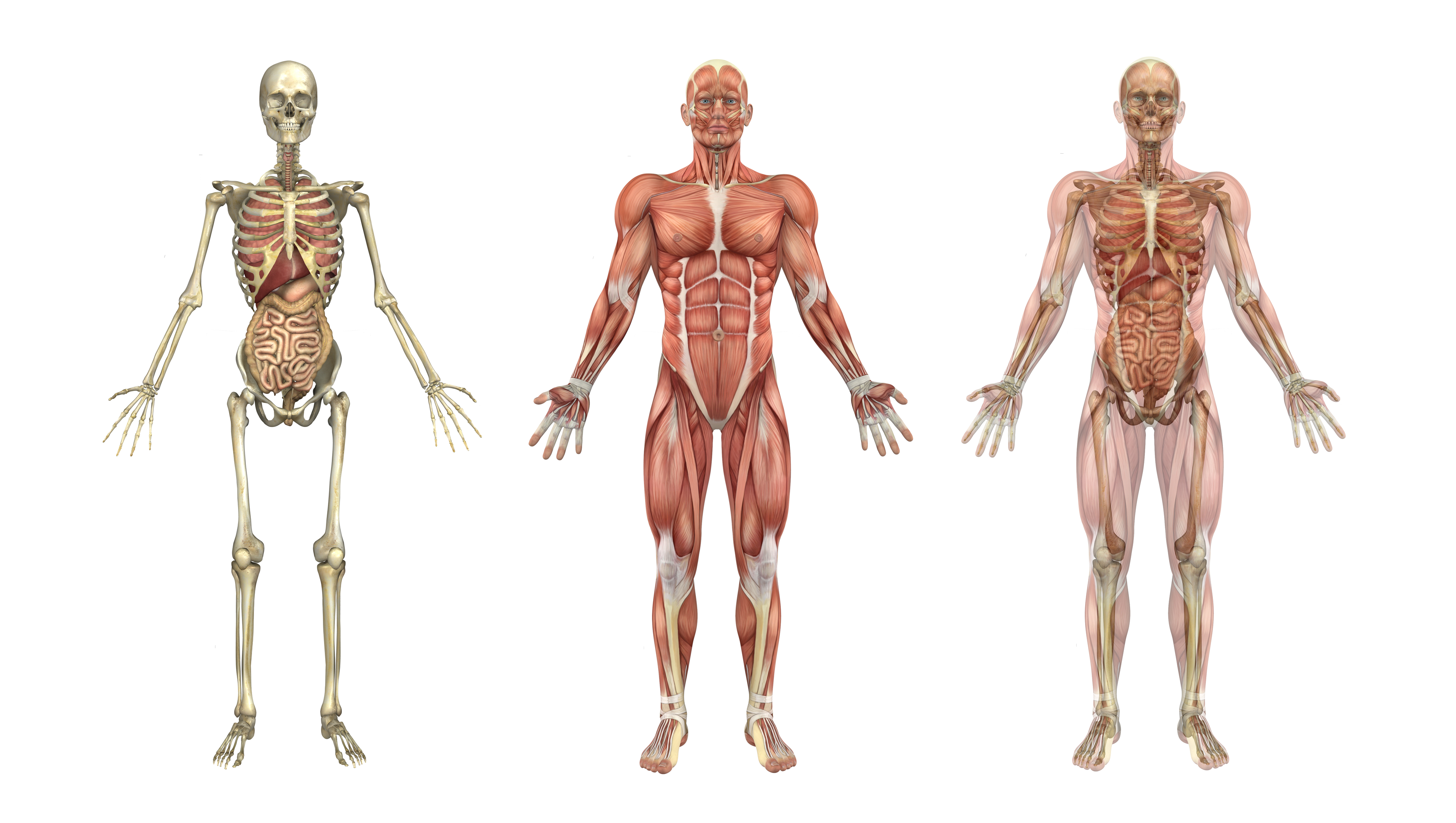 human skeleton, muscles, and internal organs - kidspressmagazine, Skeleton