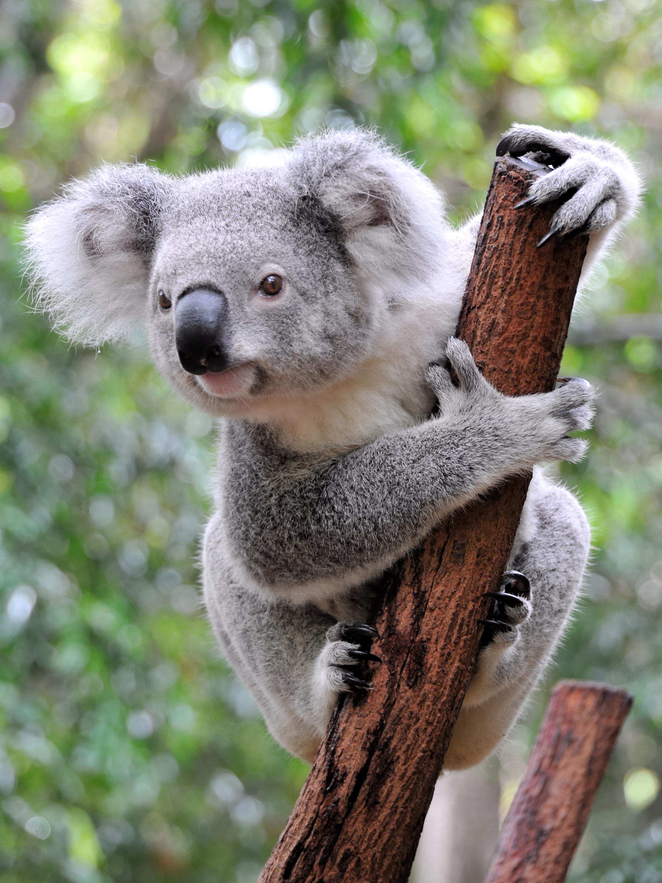Koala Facts - KidsPressMagazine.com