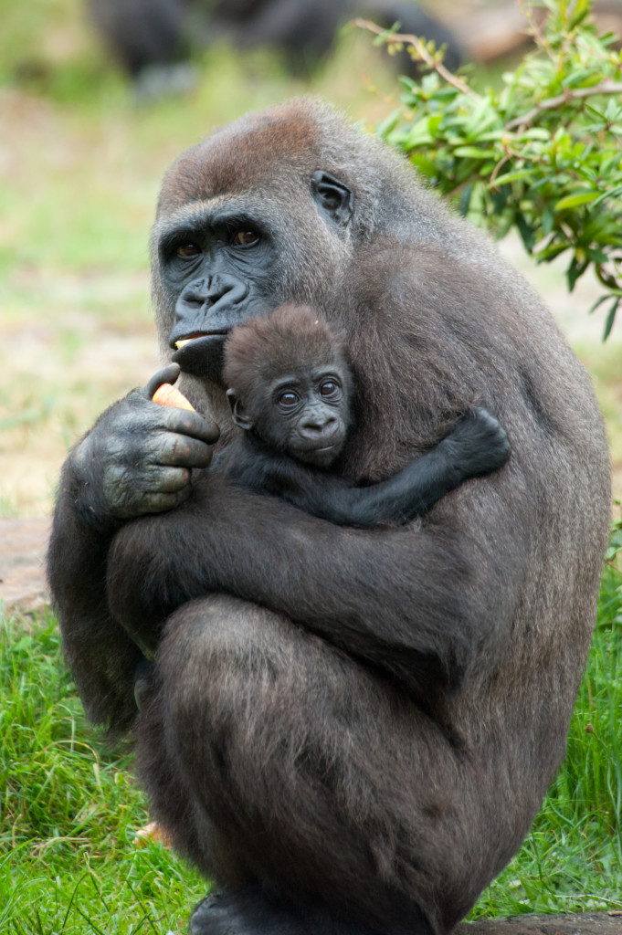 Gorilla Facts