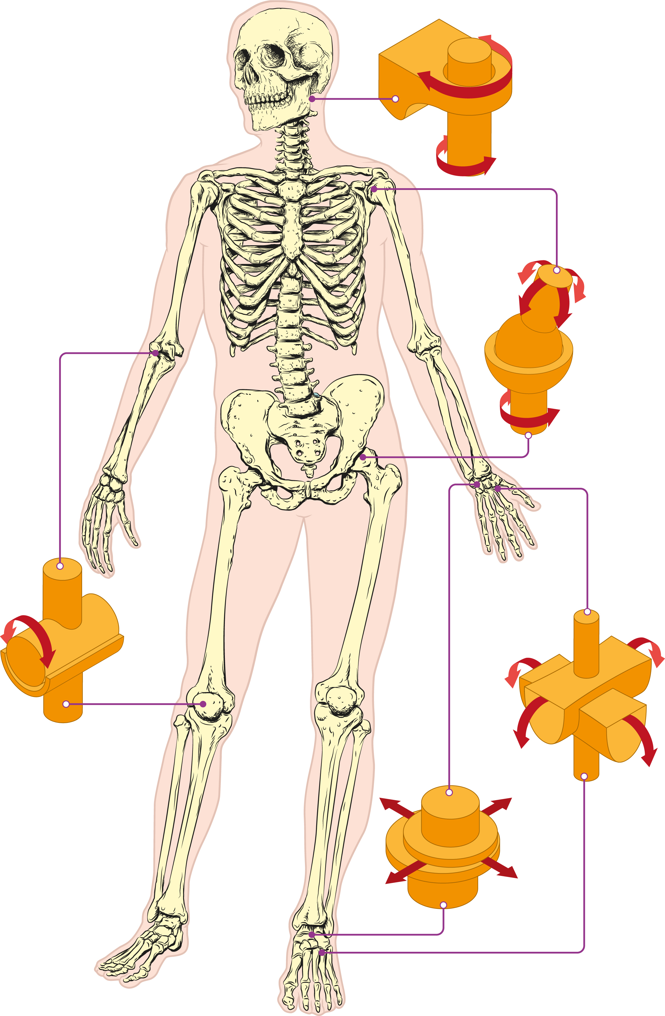 joints of the human body A joint is where two bones meet in the human body without joints, movement as we know would be impossible after this video, you should find out how many joints in the human body are you able to.
