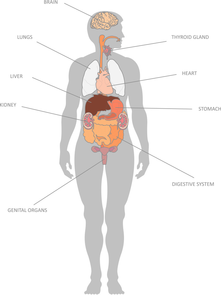 Internal Organs And Their Functions Kidspressmagazine