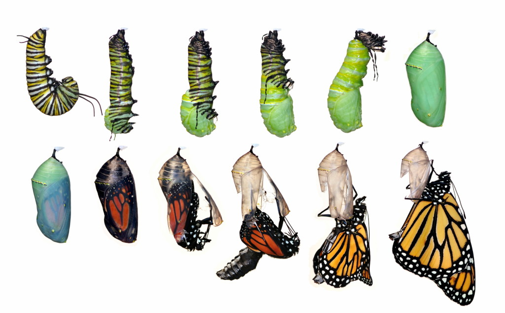 Monarch Caterpillar to Chrysalis Cocoon Process  YouTube