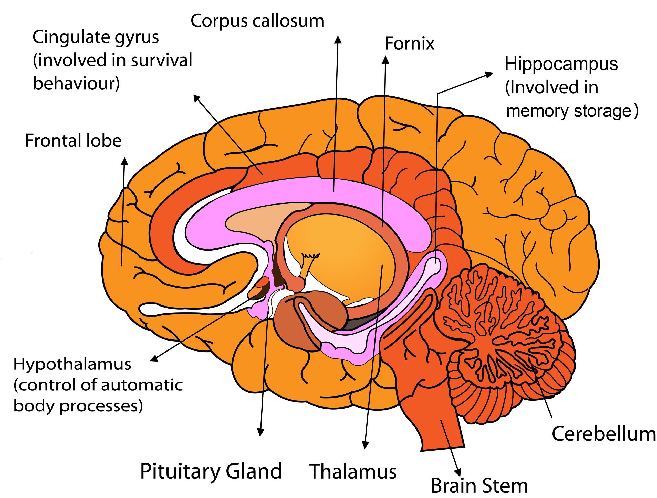 Why the human brain consists of two hemispheres 10
