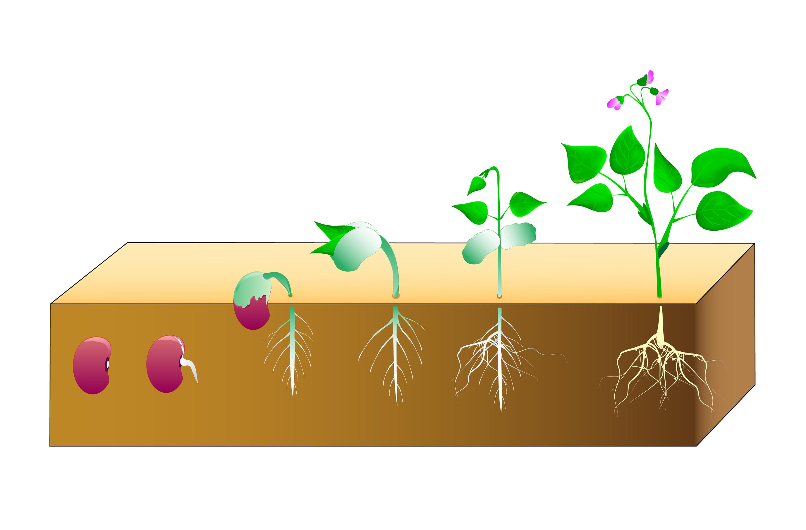 Life Cycle of Plants - KidsPressMagazine.com