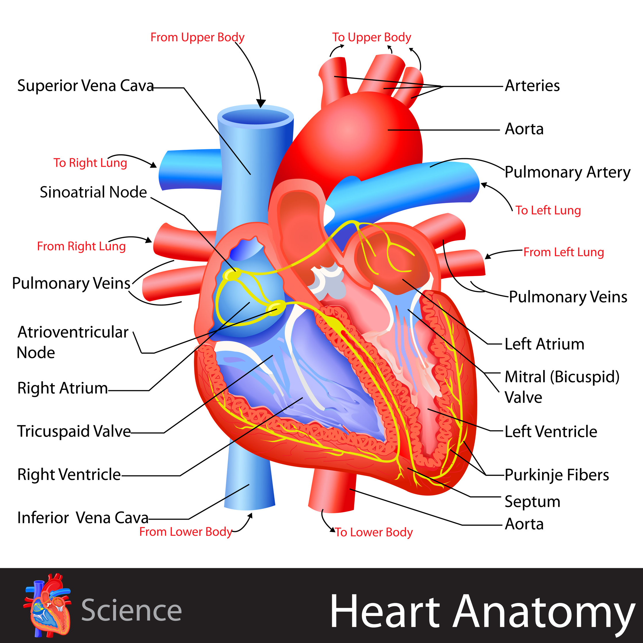 Heart Anatomy on Circulatory System Worksheets For Kids