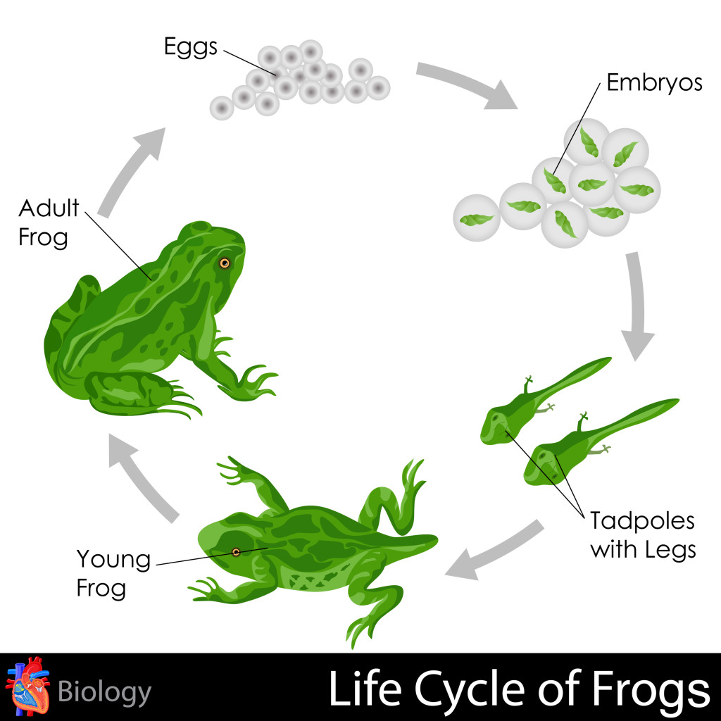 the life cycle of a frog Product features each layer shows a stage of frog life cycle from spawn to tadpole, to.