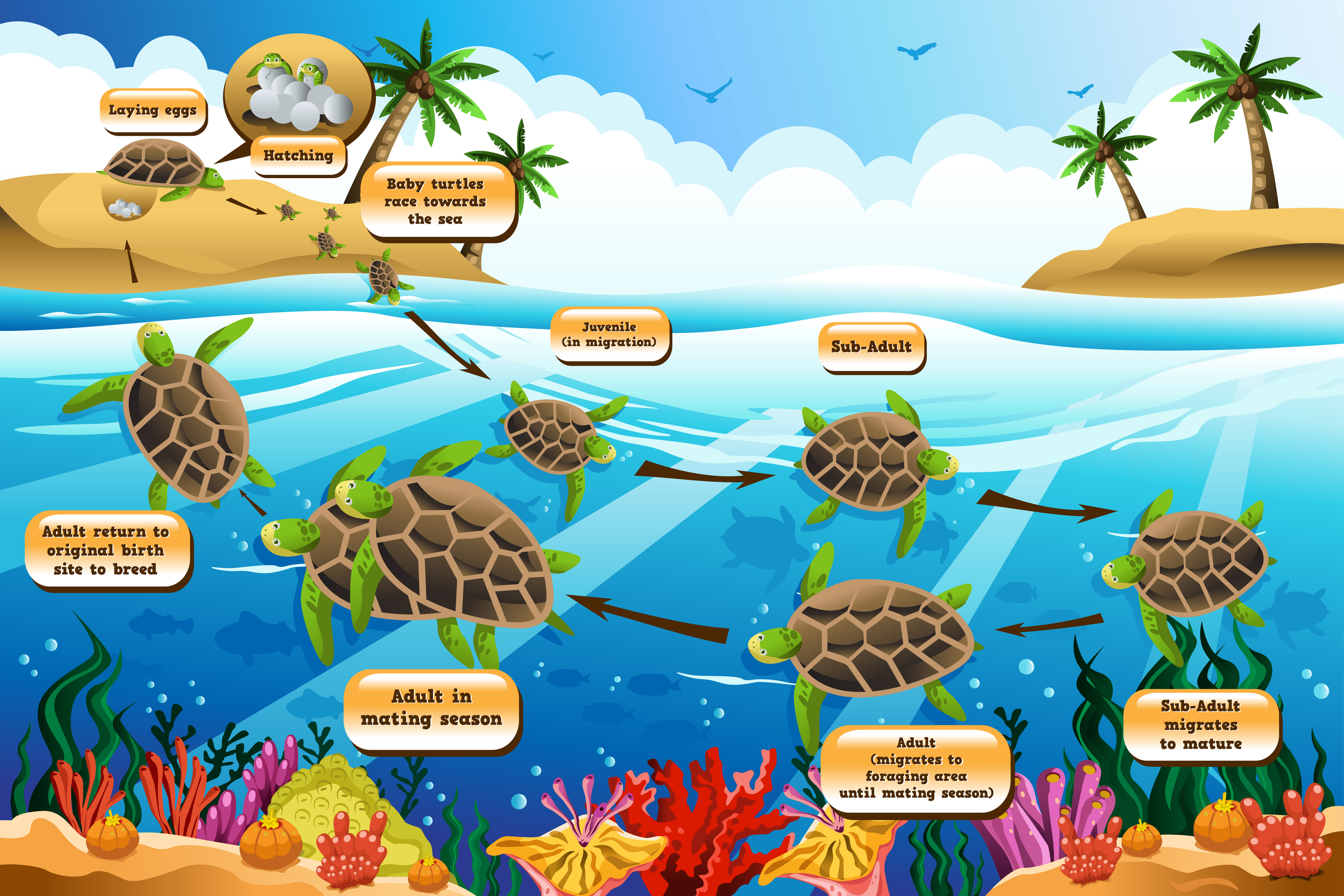 Life Cycle of Sea Turtles - KidsPressMagazine.com