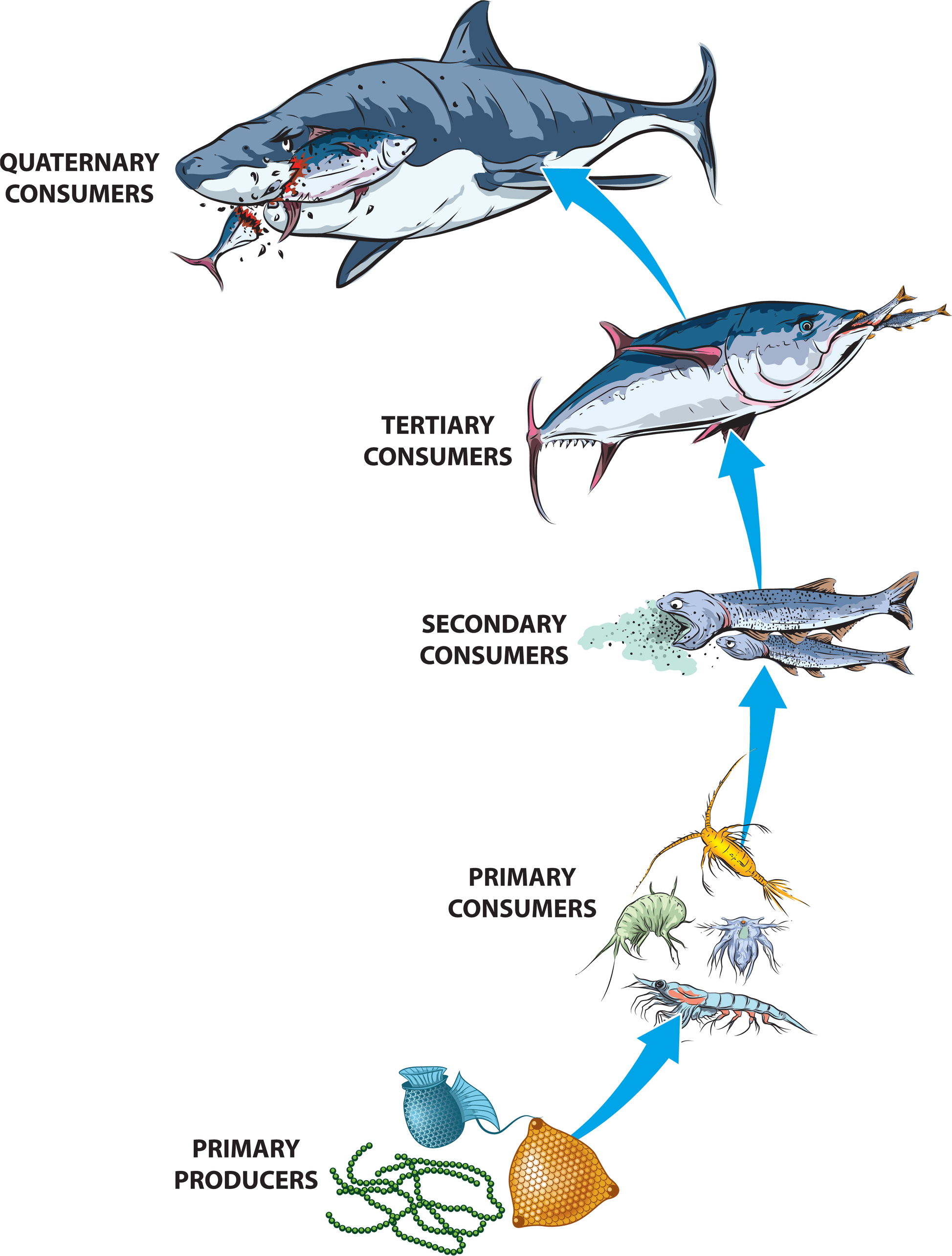 Marine Food Chain - Ki...